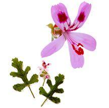 Scented_geraniums_pelargonium_staghorn_oak-1.full