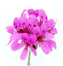 Scented_geraniums_pelargonium_rose_harvest-1.full