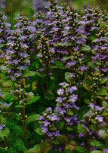 Ajuga, 'Purple Brocade'