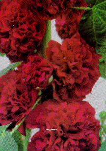 All_plants_alcea_rosea_chater_s_scarlet-1.full