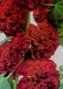Hollyhock, 'Chater's Scarlet'