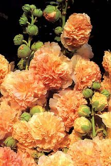 All_plants_alcea_rosea_double_apricot-1.full