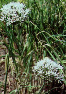 All_plants_allium_ramosum-1.full
