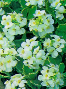 Rock Cress, 'Variegata