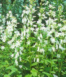 All_plants_campanula_latifolia_var_macrantha_alba-1.full