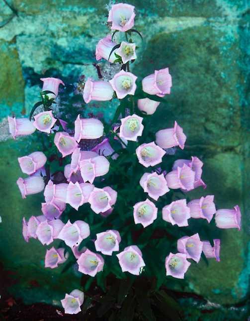 All_plants_campanula_media_canterbury_bells_single-1.full