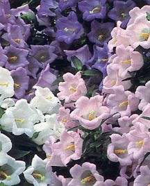 All_plants_campanula_media_canterbury_bells_double-1.full