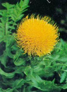 Cornflower, Globe