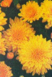 Chrysanthemum, 'Sunny Morning'