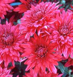 Chrysanthemum Chrysanthemum Morifolium X Ruby Mound