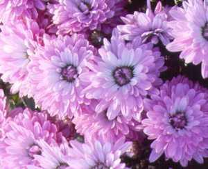Mum, Garden 'Glamour'