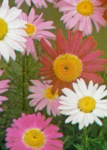 Painted Daisy, 'Robinson Hybrid'