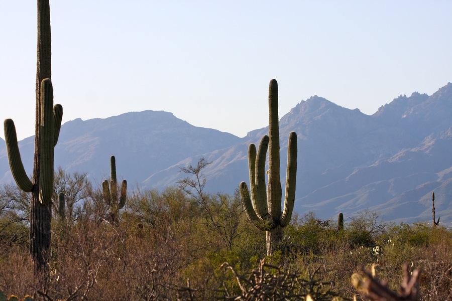 Saguaro_1.full