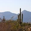 Saguaro_1.thumb