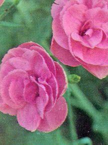 Pink, 'Helen'