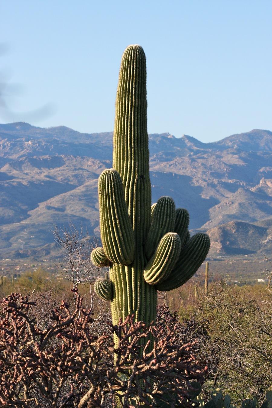 Saguaro_2.full