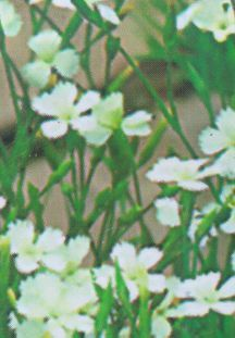 All_plants_dianthus_deltoides_alba-1.full