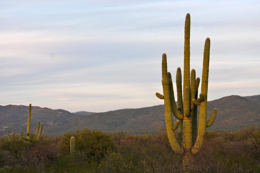 Saguaro_2a.full