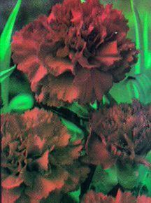 Carnation, 'Red'