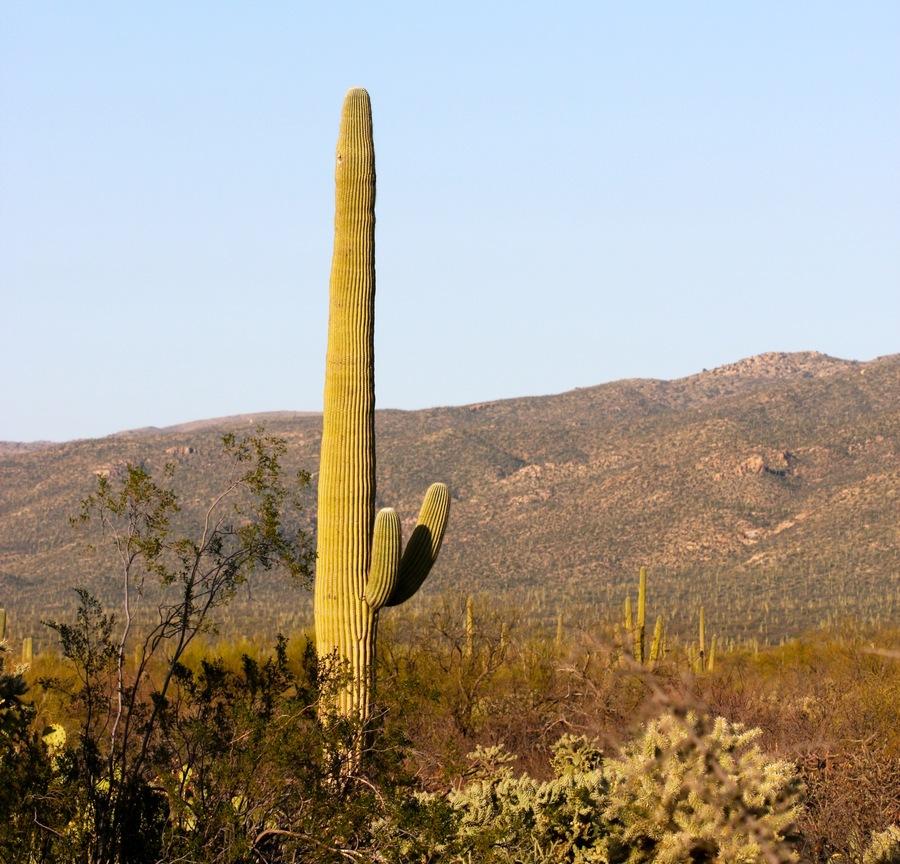 Saguaro_3.full