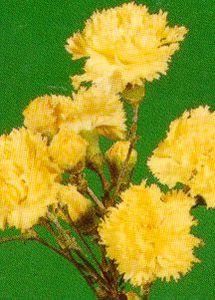 Carnation, 'Grenadin Golden Sun'