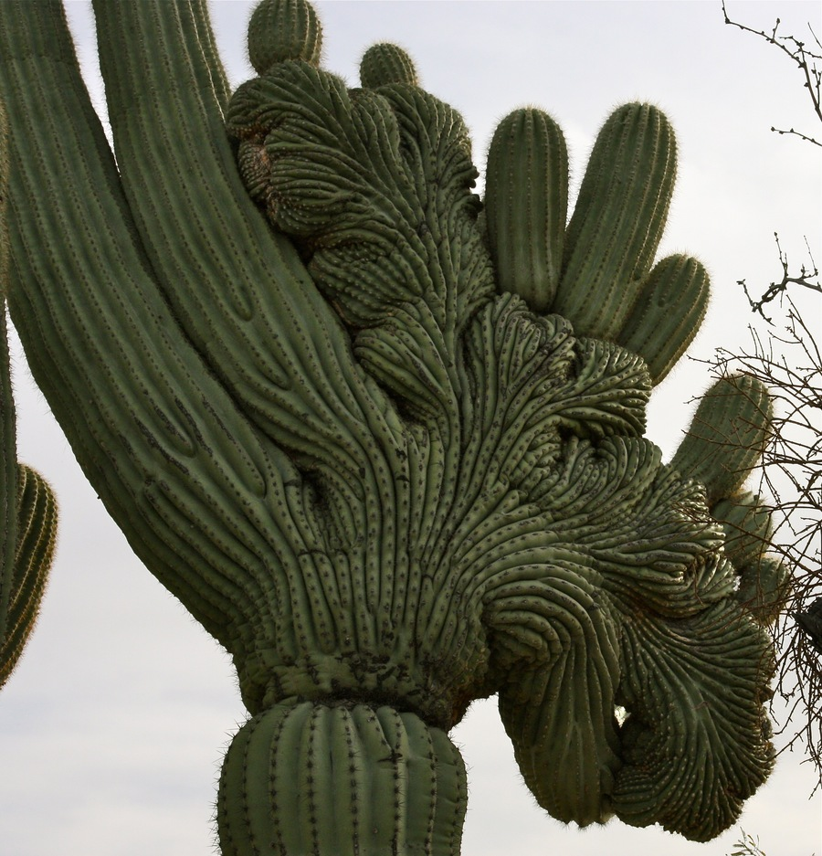 Saguaro_6_crested.full
