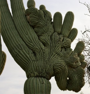Close up on a Crested Saguaro cactus
