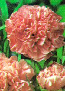 Carnation, 'Pink'