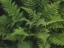 Ferns_dryopteris_spinulosa-1.medium.detail