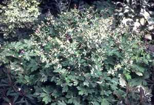 Geranium, 'Variegata'