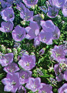 All_plants_campanula_carpatica_deep_blue_clips-1.full