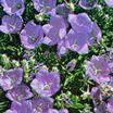 Bellflower, Tussock 'Deep Blue Clips'