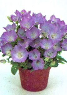 All_plants_campanula_carpatica_light_blue_clips-1.full