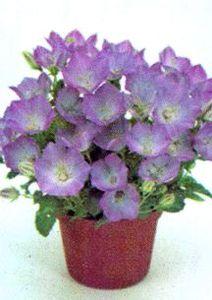 Bellflower, Tussock 'Light Blue Clips'