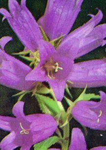 All_plants_campanula_latifolia_macrantha-1.full