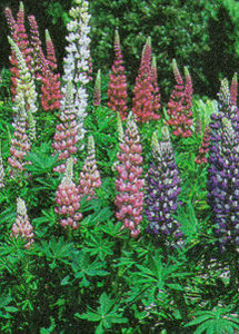 Lupine, Gallery Mix