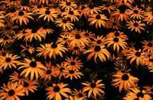 Purple_coneflower_rudbeckia_fulgida_var._sullivantii_goldsturm-2.medium.detail