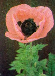 Poppy, Oriental 'Princess Victoria Louise'