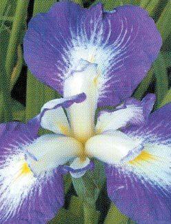 Japanese-iris.detail