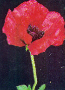 Poppy, Oriental 'Beauty of Livermore'