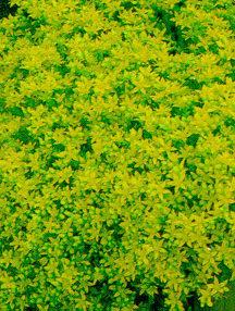 Sedum_and_stonecrop_sedum_acre-1.medium.full