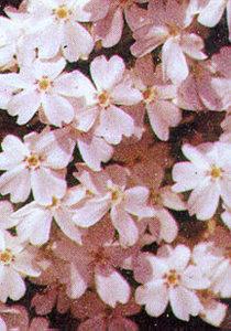 Phlox, 'White Delight'
