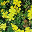 All_plants_potentilla_aurea_verna_nana-1.thumb