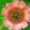 All_plants_potentilla_nepalensis_miss_willmott-1.thumb