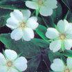 All_plants_potentilla_alba-1.thumb