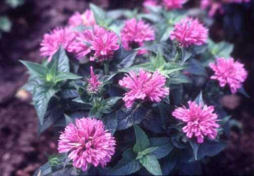 All_plants_monarda_didyma_petite_delight-1.full