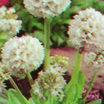 All_plants_primula_denticulata_alba-1.thumb