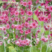 All_plants_primula_pulverulenta-1.thumb