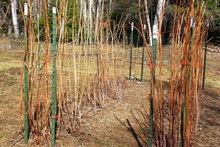 Raspberry_pruning_007.jpg_-_small.full