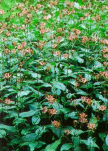 All_plants_tricyrtis_hirta_miyazaki-1.full